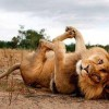 Stretching exercises Lion